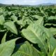 Tobacco plantations, Kentuky tobacco for Toscani cigars, Anghiari, Val Tiberina, Tuscany, Italy